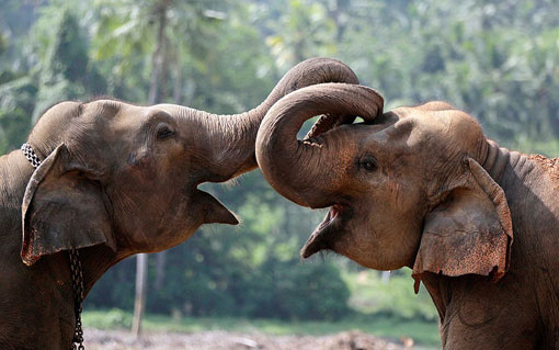 Elephant calves play at an elephant orphanage in Pinnawala, Sri Lanka. The orphanage is home to 83 elephants and a major tourist attraction in Sri Lanka.