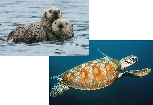 endangered species: sea otters and turtles