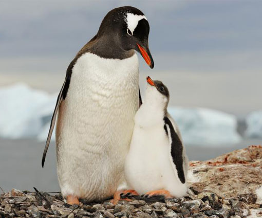 A gentoo penguin (Pygoscelis papua) mother stands with her chick in Antarctica.