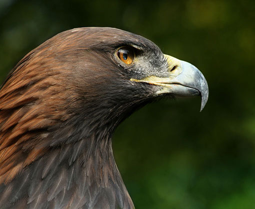 The golden eagle, Aquila chrysaetos, belongs to the family Accipitridae.