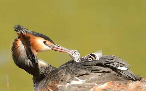Great Crested Grebes feeding baby chicks on back of mother