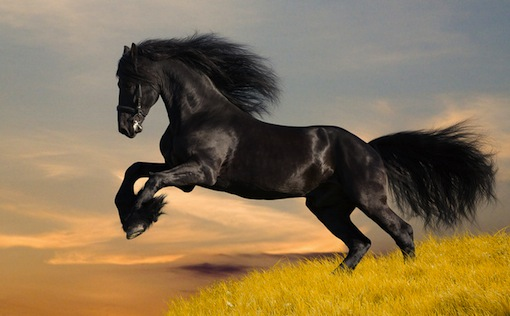 magnificent black stallion galloping on grass