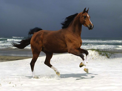 brown horse in gallop on the beach