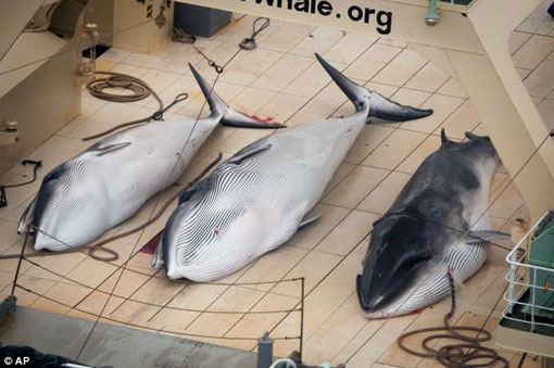3 dead minke whales on Japanese vessel inside an internationally-recognised sanctuary