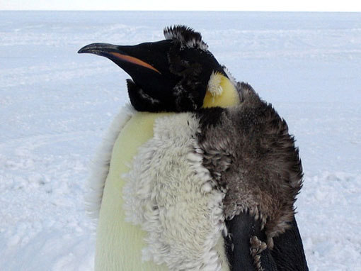 an emperor penguin loses its old feathers (the fluffy ones) as new ones grow in underneath