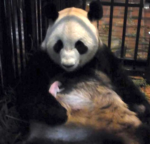 a tiny newborn panda cub clings to its mother, Shin Shin, at Ueno Zoo, Japan