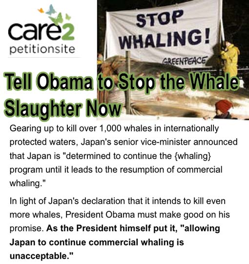 Japan is gearing up to kill over 1,000 whales in internationally protected waters... President Obama must make good on his promise. As the President himself put it, 'allowing Japan to continue commercial whaling is unacceptable.'