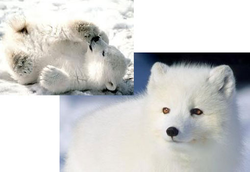 endangered species: arctic fox and polar bear