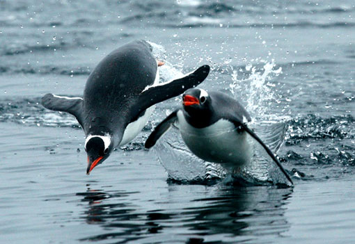 Gentoo penguins jumping out of the water