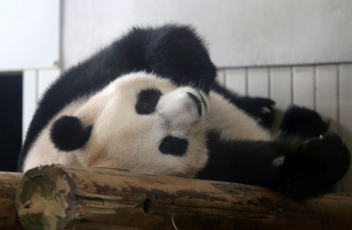 Shin Shin rested at Ueno Zoo in Tokyo last month. The zoo announced on June 25 that Shin Shin had shown signs of pregnancy