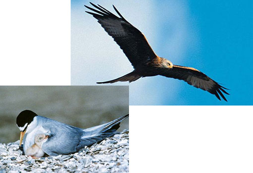 top: a red kite, one of several species of Scottish birds of prey to have been found dead from poisoning; bottom: endangered species California Least Tern