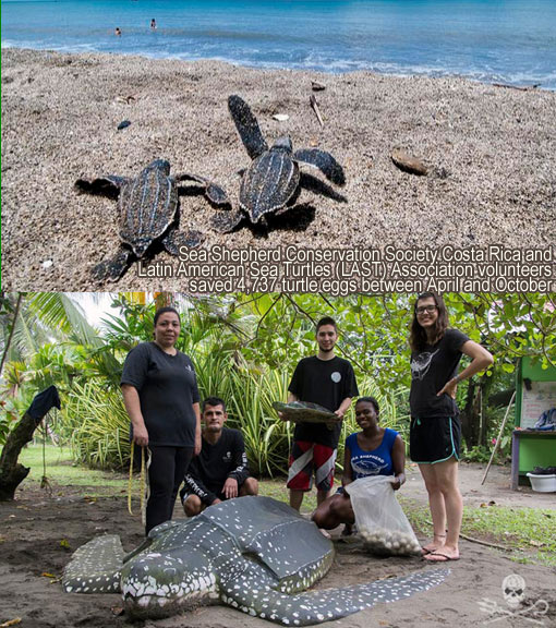 Sea Shepherd Conservation Society Costa Rica and Latin American Sea Turtles (LAST) Association launch Operation Pacuare: saved 4,737 turtle eggs between April and October