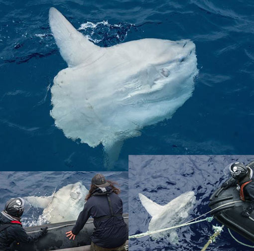 Sea Shepherd welcomed by giant ocean creature: mola mola, world's biggest bony fish at about 5,000 pounds