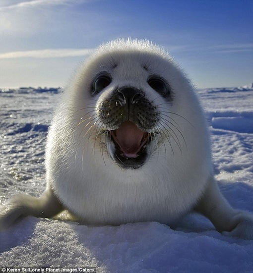 all smiles: Harp Seal pup smiling for the camera in East Canada