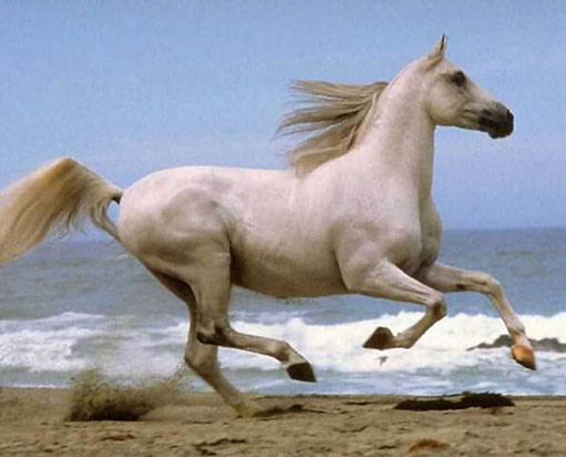 white horse trotting on beach