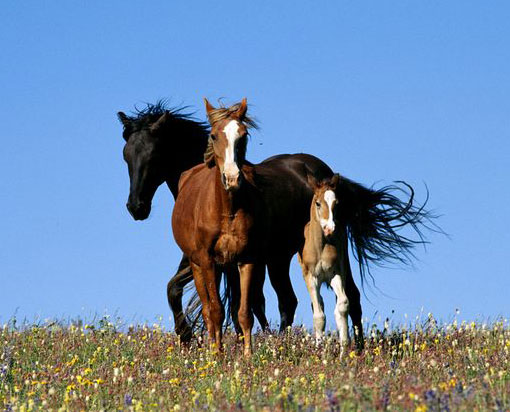 wild horses in Montana's Pryor Mountains run through a field of wildflowers
