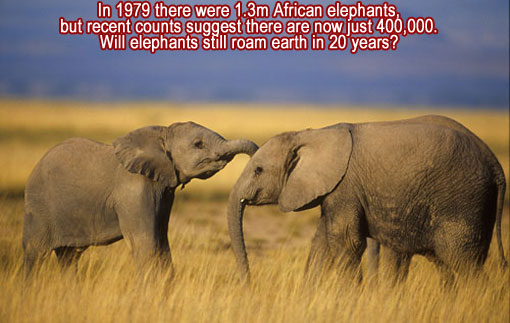 In 1979 there were 1.3m African elephants, but recent counts suggest there are now just 400,000. Will elephants still roam earth in 20 years?
