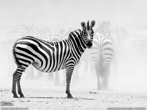 zebras in black and white photo