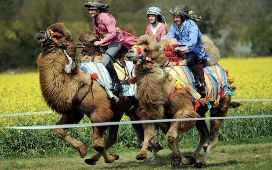 Picture: Camel Races held in Gloucestershire, England