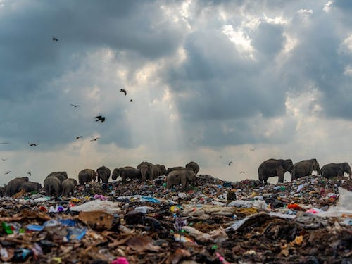 Human and wildlife in photos: elephants eating man-made garbage on a giant dump; half a million sharks will be gone for vaccine against virus