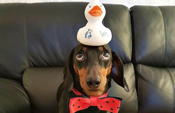 Hariso the Balancing Hound: adorable little dachshund with an amazing talent