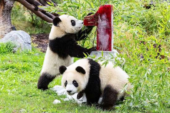"""Charisma. And so cute. Berlin celebrates panda twins (rarely surviving in pairs) turning one year old: """"they have grown very dear to us'; US' newborn panda, mom gives birth at 22 (near record of 23)"""