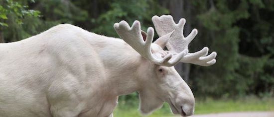 Indigenous people in Canada mourning after white 'Spirit Moose' killed